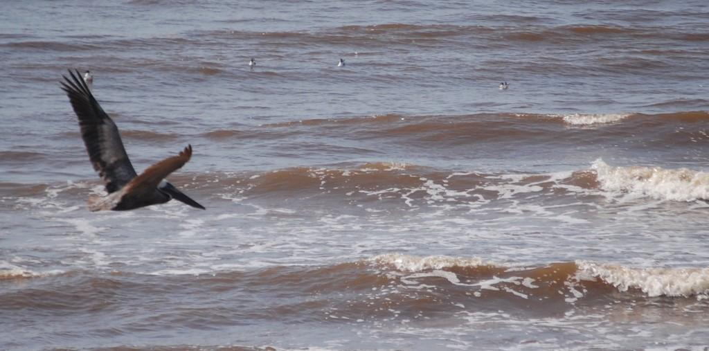 Three Days in Galveston – Pelican Fascination