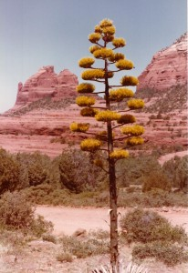 Agave in Sedona, Arizona