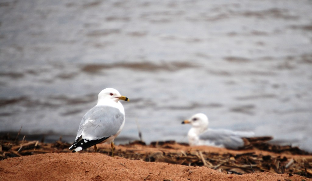 Gulls relax on the beach of Lake Superior near Ashland, WI