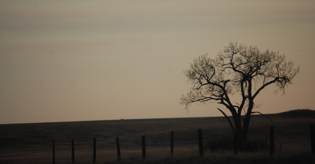 A Lonely Tree basks in the sunset east of Wolf Point, MT on US Route 2