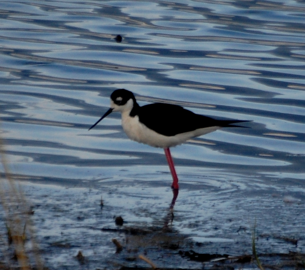 A black-necked stilt in North Dakota