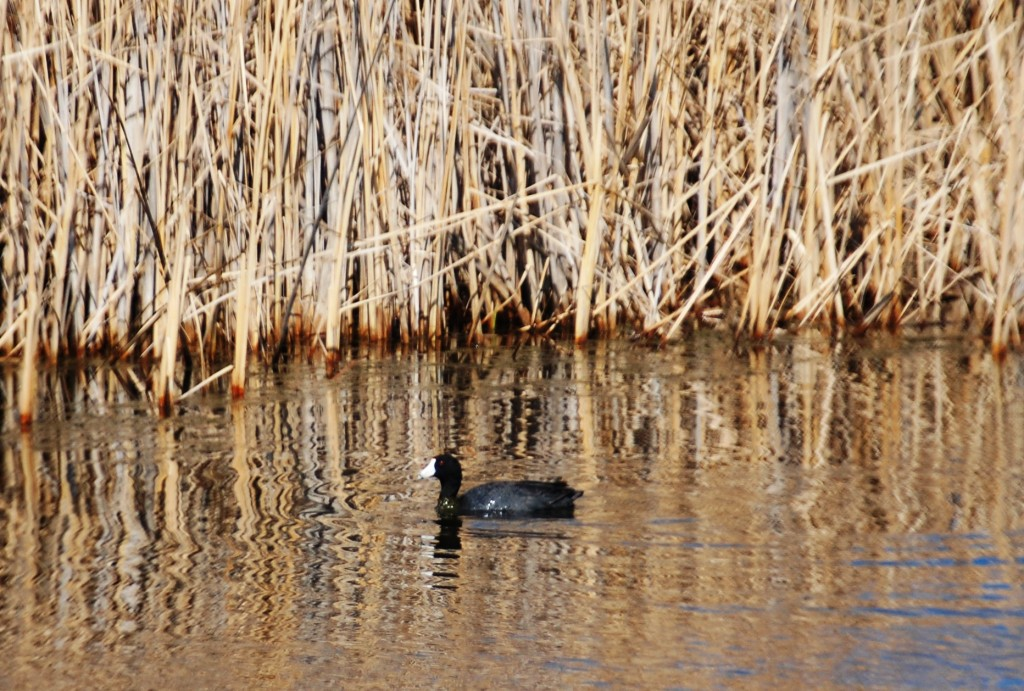 Duck in a pond on ND Highway 1
