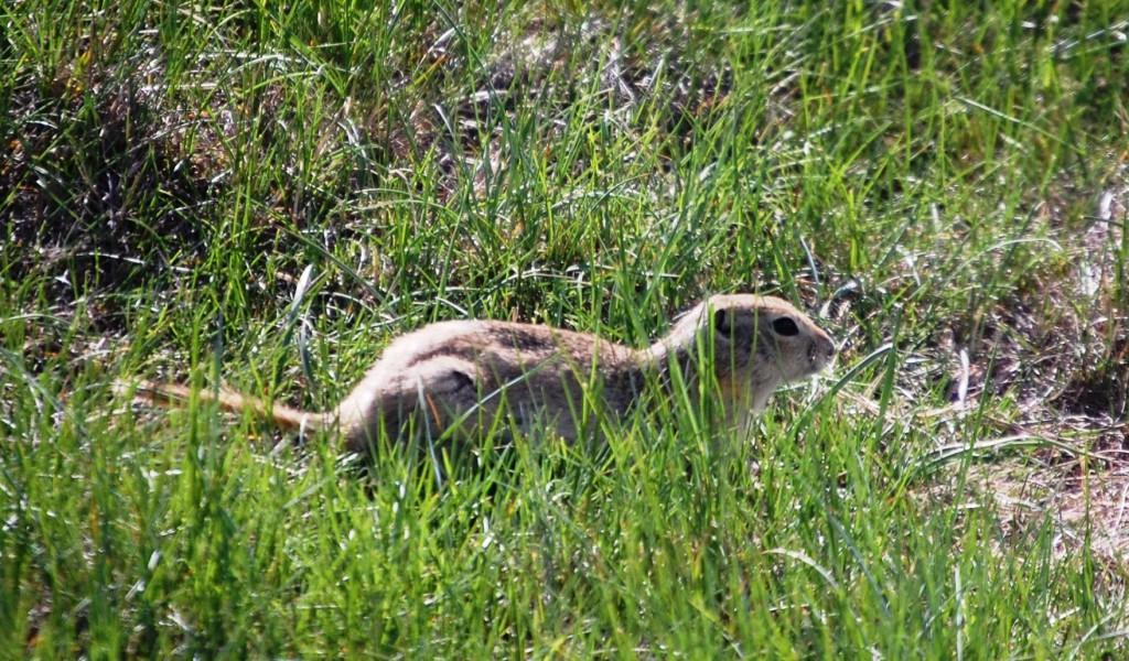 A prairie dog scampers near the Camp Disappointment Monument