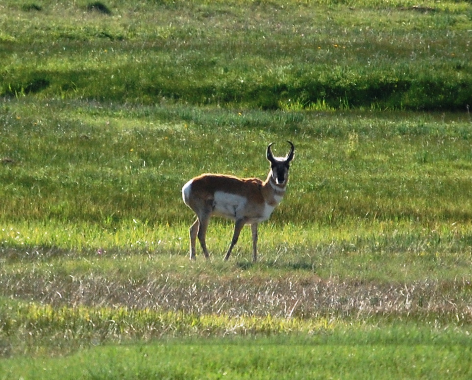 A curious pronghorn enjoys the morning sun
