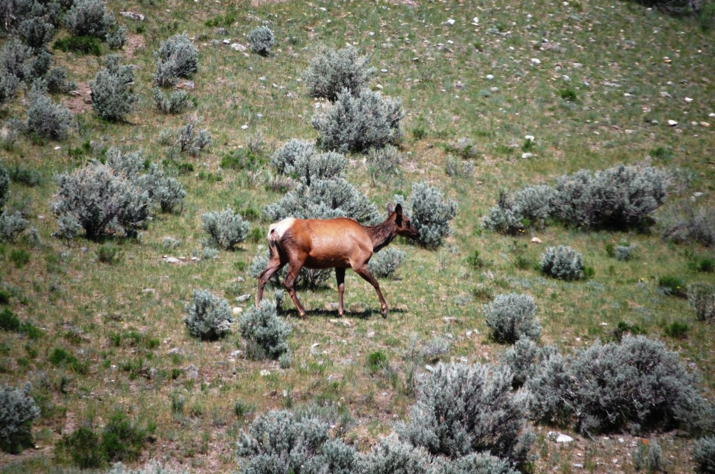An elk was seen roaming the area around Mammoth Hot Springs