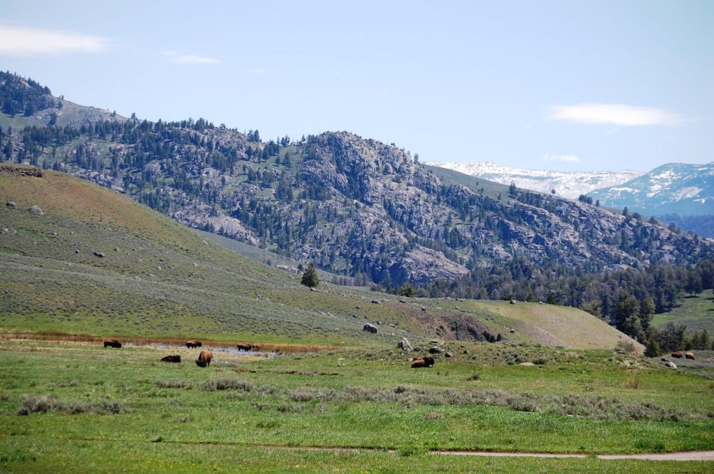 Bison roam freely along the Grand Loop road