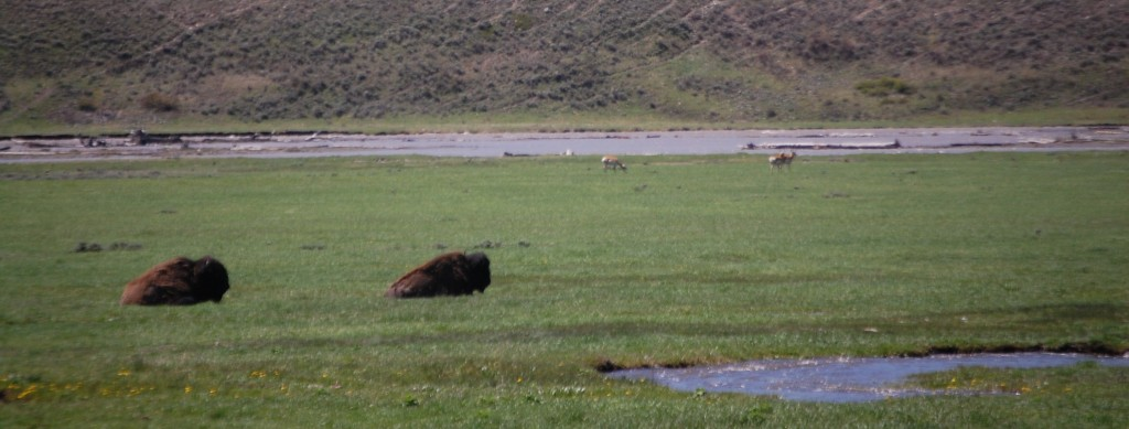 Bison relax along Lava Creek while pronghorned antelope look on from the background