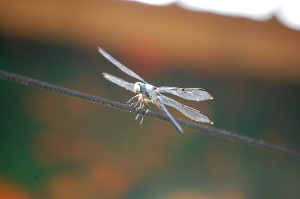 A dragonfly greets me at the entrance to P'maws in Pierre Part, LA