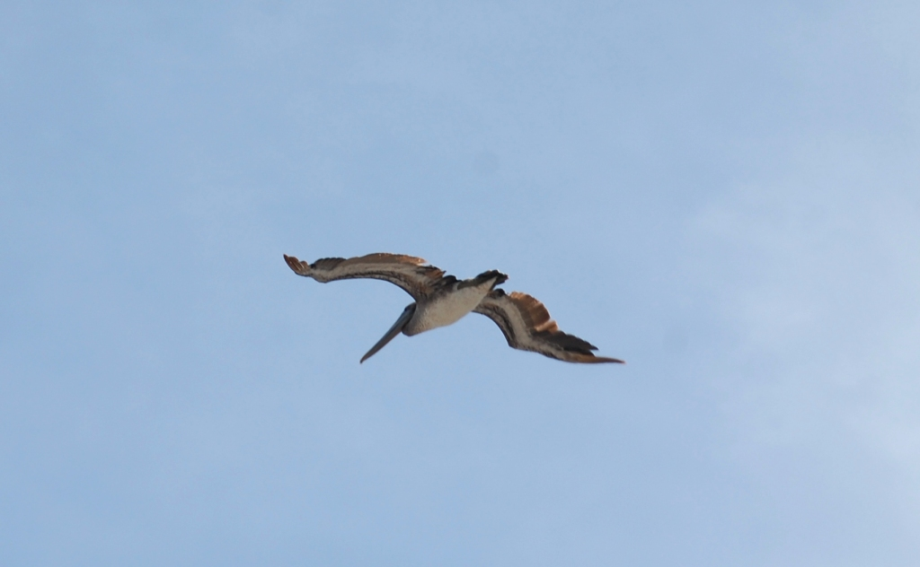 A single pelican in flight