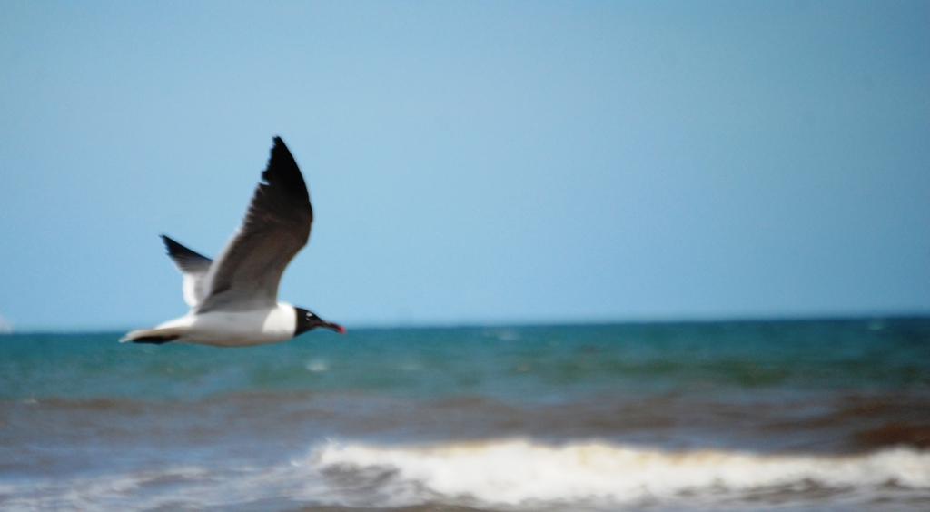 Seagull in flight with the Gulf of Mexico behind it