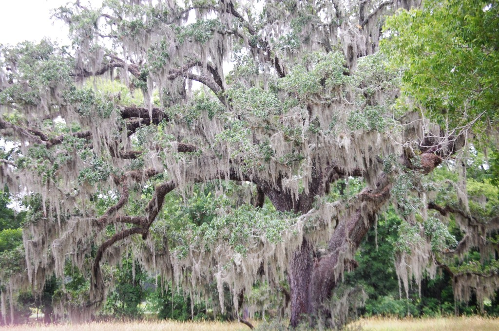 Moss Covered Tree in Brazos Bend State Park