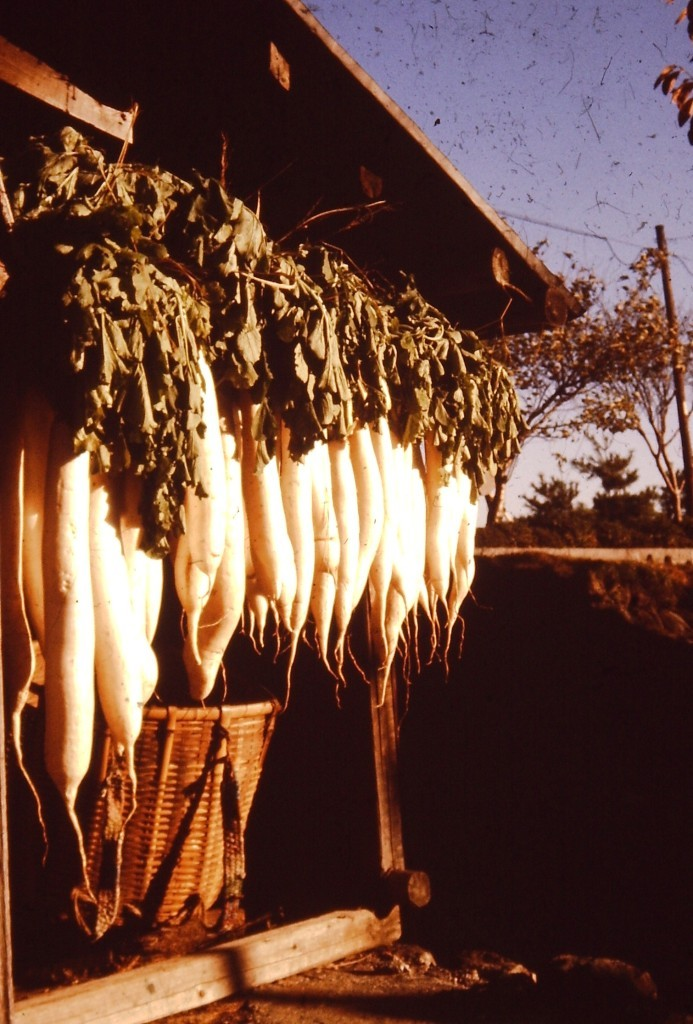 Daikon radishes drying for pickling in Ogaki, Japan (ca 1977)
