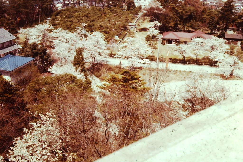 Cherry Blossoms.  Old photo so colors have faded. This was taken in Gifu (ca. 1977)