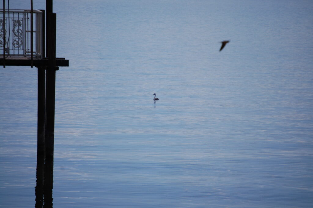 A solitary grebe sits in the lake