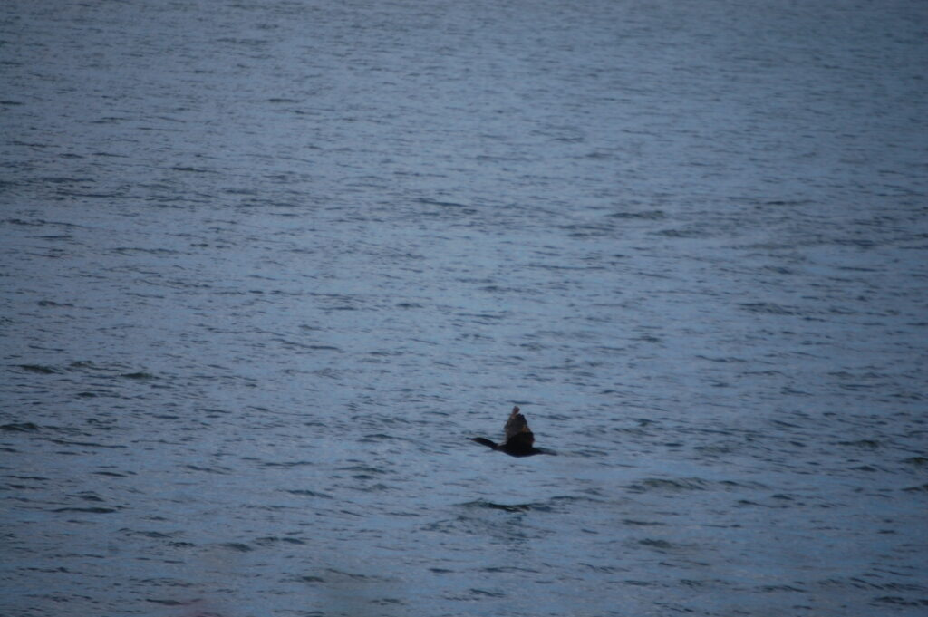 A cormorant glides across the waters of Clear Lake