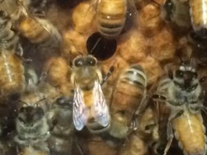 "Bees working in the ""see thru"" working beehive at Real Goods Store"