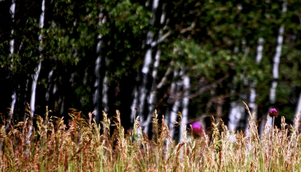 Aspen groves and thistles