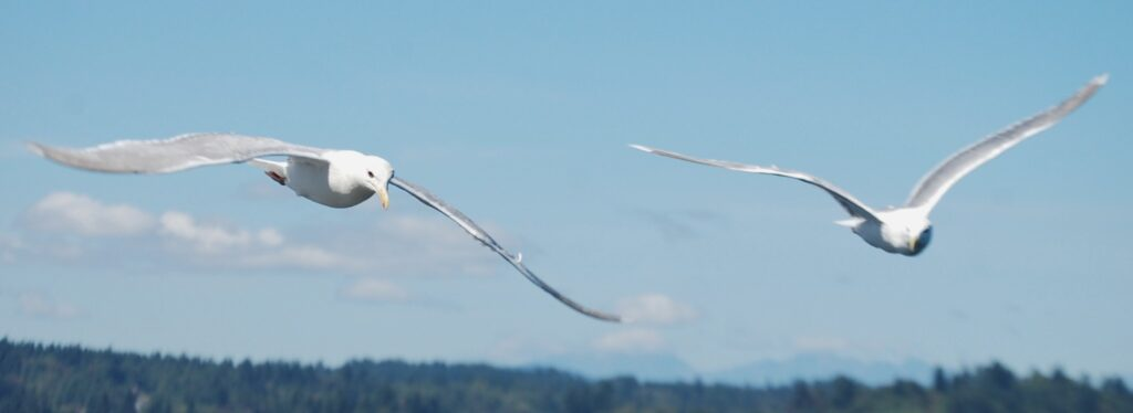 There were about a dozen seagulls soaring alongside the ferry. Here are a couple of them.