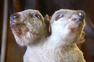 A two headed sheep in Ye Olde Curiosity Shop in Seattle, WA