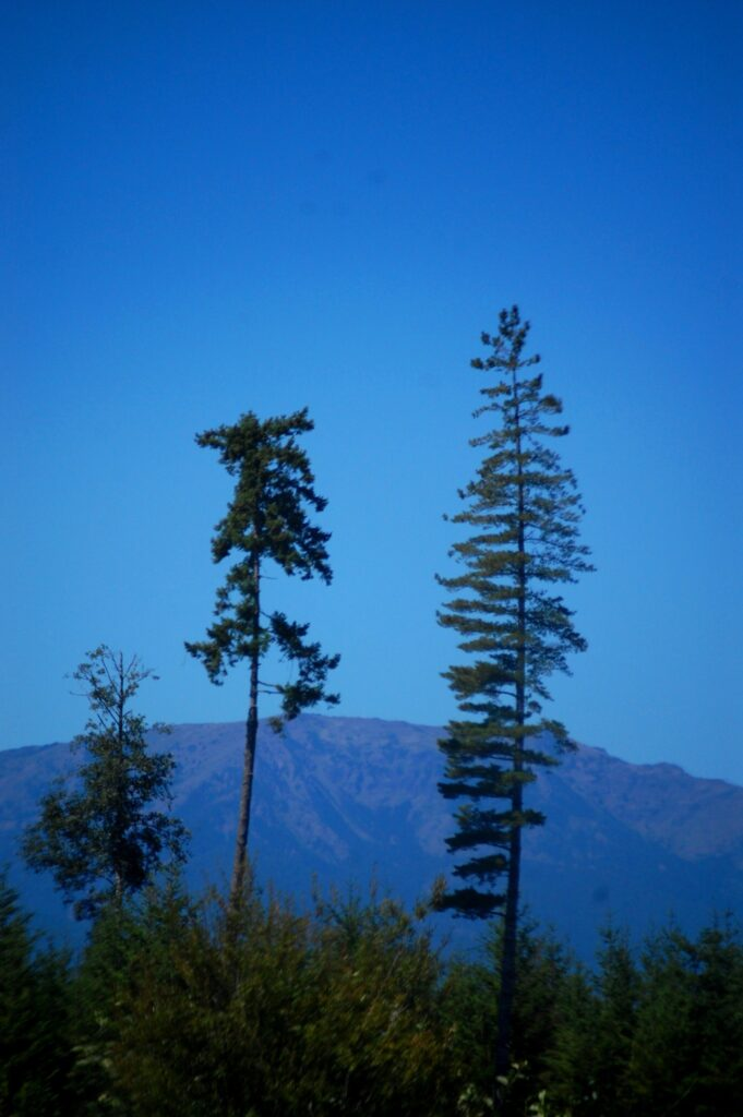 Giant trees as seen from Hwy 104