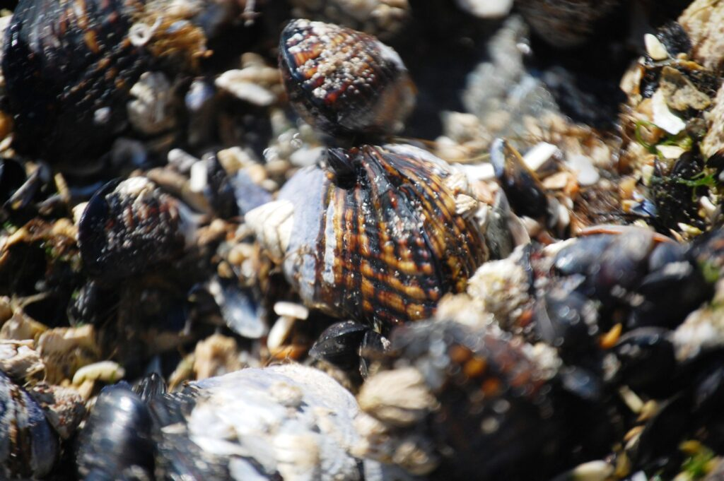 A conglomerate of gastropods, bivalves and chiton mollusks