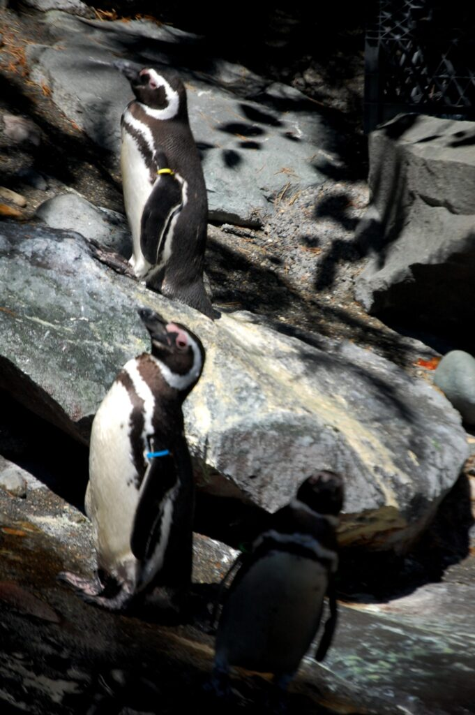 The small penguins stand majestically at feeding time