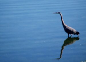 A Blue Heron relaxes in the waters of Port Orchard