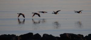 Canadian Geese fly low over Lake Erie