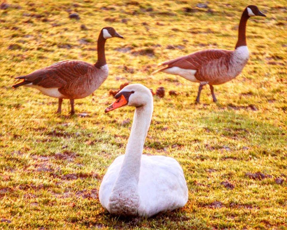 A pair of geese stroll by a relaxing swan at the Greenmoor Common Equestrian Center just after sunrise