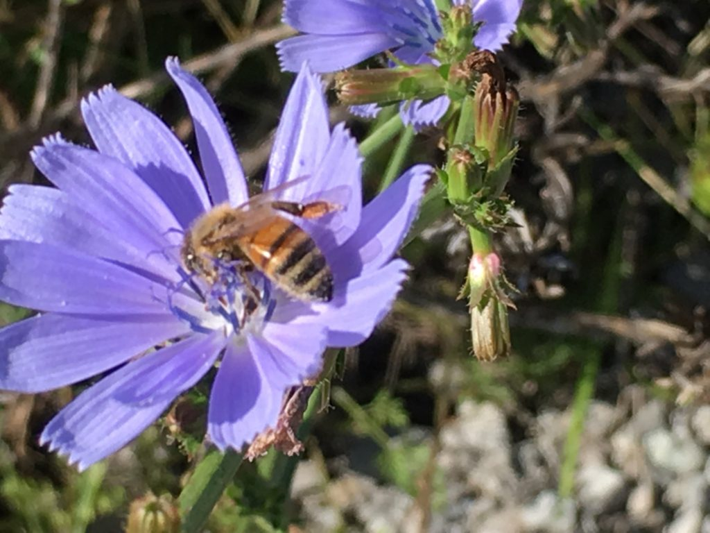 Bee on a Chicory Bloom