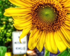 Sunflower taken at the end of Virginia Creeper Trail in Abingdon, VA