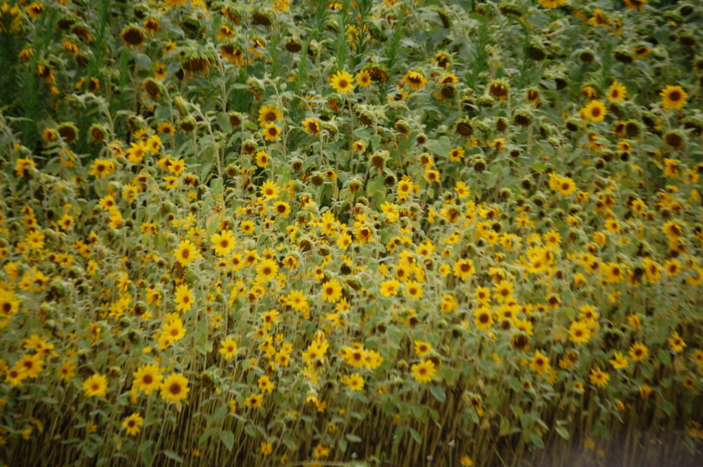 Sunflower Fields on the side of OH 192 between Fredericksburg and Holmesville