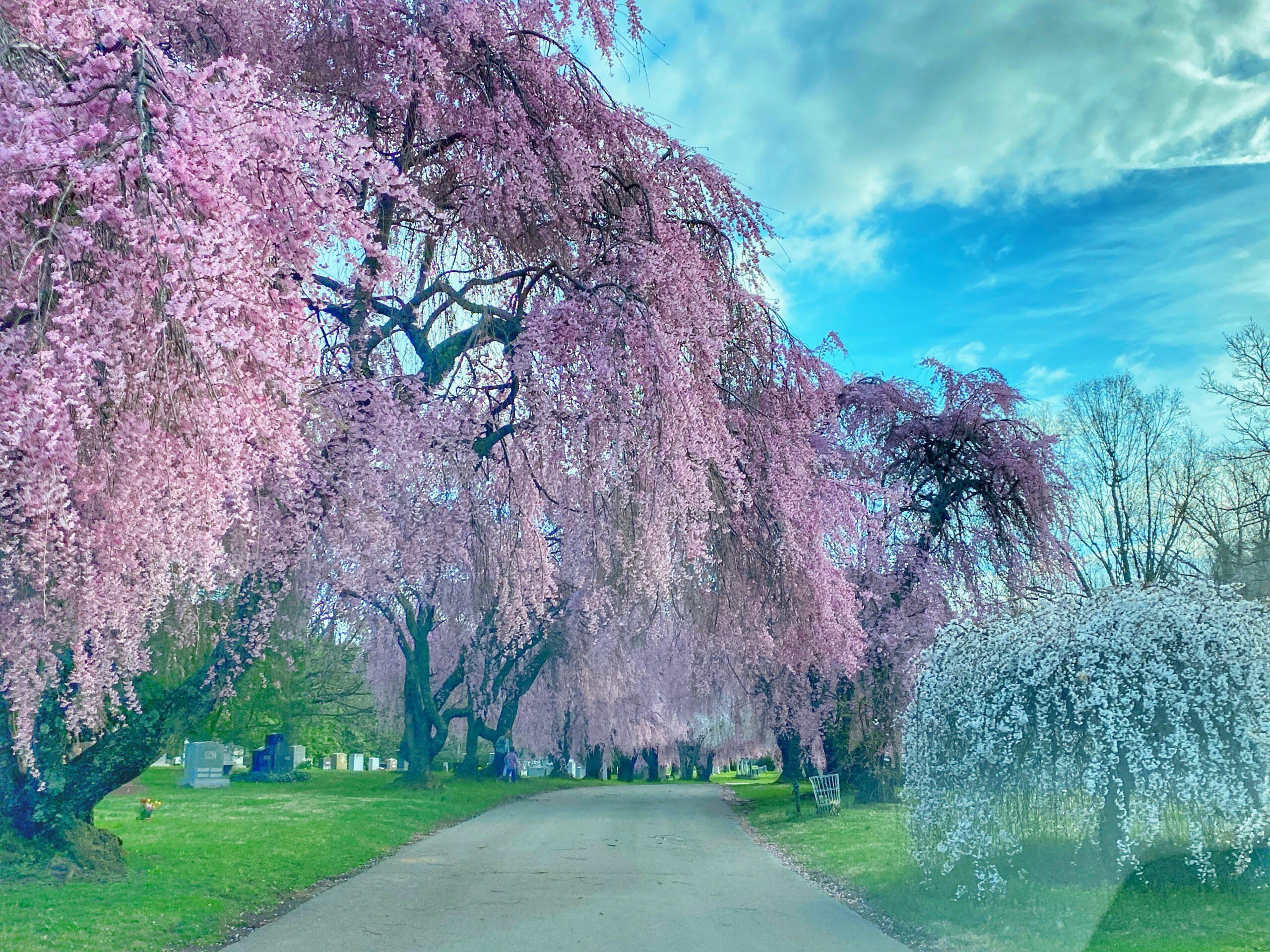 Sakura – A Cherry Blossom Story